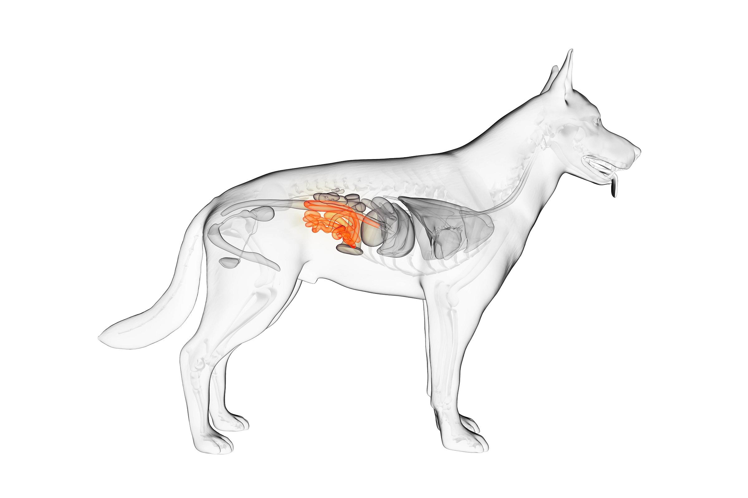 Niere bei Hunden